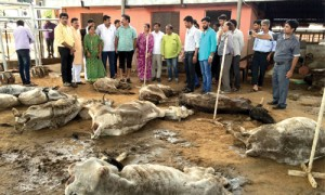 वसुंधरा सरकार के गले में फांस बनी 'गाय'